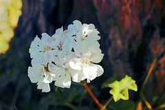 Geranium (maginoz1) Tags: flowers rose geranium abstract art manipulation curves autumn march 2018 bulla melbourne victoria australia canon g3x d100