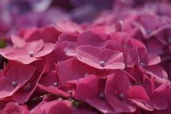 RIC06066 (rickytanghkg) Tags: sony a7ii minolta minolta70210mm 70210mm hongkong sonya7ii flowers flowershow sunny outdoor flora