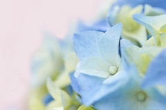 Happy Weekend ! (eleni m) Tags: hydrangea hortensia blue flowers plant softfocus soft cream pink dof dreamy macro limegreen