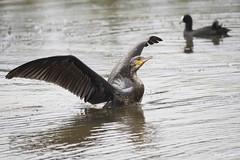 DSC_1996 (P2 New) Tags: 2013 animaux aout bretagne date etangdecareil france grandcormoran illeetvilaine oiseaux pays phalacrocoracidae pélécaniformes
