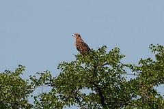 Степной (каменный) орел, Aquila rapax rapax, Tawny Eagle (Oleg Nomad) Tags: степнойкаменныйорел aquilarapaxrapax tawnyeagle птицы африка сафари намбия фотоохота bird aves africa safari namibia