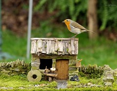 Robin with small cottage  (2) (Simon Dell Photography) Tags: robin bird garden small cottage old english country home view micro village house barn tiny modle model grind stone nature wildlife simon dell photography sheffield shirebrook valley s12 2018 spring image rambo yorkshire