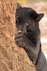 jaguar artis BB2A7945 (j.a.kok) Tags: jaguar jaguarcub blackjaguar jaguarwelp zwartejaguar artis pantheraonca animal kat cat mammal zoogdier dier zuidamerika southamerica