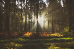 Morning Light (der_peste (on/off)) Tags: forest trees sunlight sunstar sun sunrise raysoflight godrays heavenlylight forestscape bright light shadow autumn spring colors