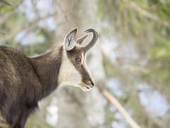 P3100146 (turbok) Tags: gipfel gämsen landschaft säugetiere tiere tressenstein wildtiere c kurt krimberger