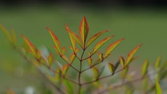 Nandina (bamboosage) Tags: meyer optik gorlitz oreston 1850 m42