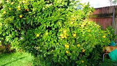 Massey, West Auckland, New Zealand (Sandy Austin) Tags: panasoniclumixdmcfz70 sandyaustin massey westauckland auckland northisland newzealand citrus tangelo