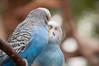 Kissing budgies (karinnell) Tags: melopsittacusundulatus budgerigar budgie commonparakeet shellparakeet bird