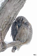 ''Douceur!'' Grand-duc (pascaleforest) Tags: animal bird owl oiseau hibou passion nikon nature wild wildlife faune québec canada plume feather