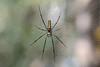 Giant Wood SpiderNephila pilipes Backwoods Camp Goa India b (JohnMannPhoto) Tags: giant wood spidernephila pilipes backwoods camp goa india
