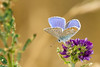 Argus bleu 002 (Hturina) Tags: argusbleu miribeljonage papillon miribel rhônealpes france fr