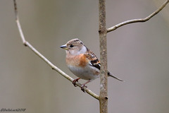 Female Brambling (Georgiegirl2015) Tags: brambling birds wildlife forest finches forestganol canon countryside deciduous march2018 female dellalack wales woodlands finch winter ef300mm woods