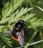 Volucella bombylans (10) (saracenovero) Tags: volucellabombylans syrphidae diptera flies fliesoflithuania mazeikiai 2017