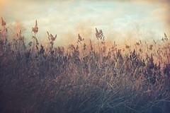 in the tall grass (charhedman) Tags: rithetsbog inthetallgrass bluesky victoria goldenlight