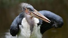 Marabu (karinrogmann) Tags: marabu maraboustork marabùafricano kölnerzoo