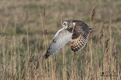 Hibou des marais - Short-eared Owl (micdop80) Tags: hiboudesmarais