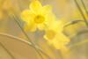 période jaune (christophe.laigle) Tags: christophelaigle fleur macro nature flower fuji yellow jaune jonquille xf60mm xpro2 daffodils ngc