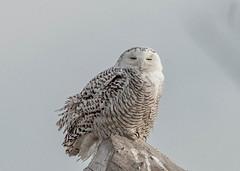 snowy owl (mr.sharp-photo) Tags: owl snowyowl toronto