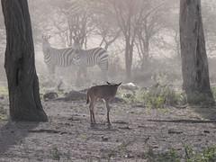 Wildebeest lost calf (David Bygott) Tags: africa tanzania ngorongoro nca ndutu wildebeest lost calf zebras