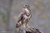 Poiana _013 (Rolando CRINITI) Tags: poiana uccelli uccello birds ornitologia rapaci cisliano natura
