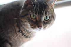 Percy (MomOfJasAndTam) Tags: cat feline fur furry eyes mycolleaguescat furryfriday pet portrait percy