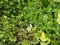 Ψίνθος (Psinthos.Net) Tags: ψίνθοσ φύση εξοχή άνοιξη spring nature countryside psinthos march μάρτησ μάρτιοσ πρωί πρωίάνοιξησ ανοιξιάτικοπρωί morning fasouli fasuli φασούλι φασούλιψίνθου φασούλιψίνθοσ fasoulipsinthos fasoulipsinthou pollen γύρη χόρτα greens κίτριναλουλούδια άγριαλουλούδια αγριολούλουδα wildflowers flowers yellowflowers yellowflower κίτρινολουλούδι λουλούδι άγριολουλούδι αγριολούλουδο butterfly πεταλούδα άπρηπεταλούδα whitebutterfly bug έντομο φτερά wings antennas κεραίεσ λουλούδια οξαλίδεσ sorrels ξυνιέσ ξινιέσ ξυνάκια ξινάκια φύλλα leaves ηλιόλουστημέρα μέρα day sunnyday light φώσ sunlight φώσήλιου φώσηλίου σκιά shadow