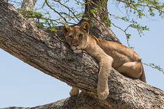 A tree? No problem (Ring a Ding Ding) Tags: africa bigcat canon5dmk111 nomadndutu pantheraleo tanzania cat lioness nature predator safari wildcat wildlife