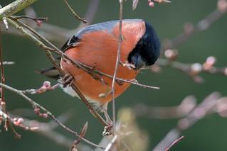 Bullfinch-247