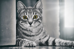 Stateliness (Alessandro Giorgi Art Photography) Tags: cat stateliness gatto animals maestosità maestoso majestic selective color animale light luce blackwhite bianconero portrait ritratto occhi eyes nikon d7000
