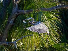 Landing Heron (Ed Rosack) Tags: orlando nature bird 22bitternsheronsandallies greatblueheron orlandowetlandspark usa centralflorida ©edrosack florida ardeaherodias gbhe christmas