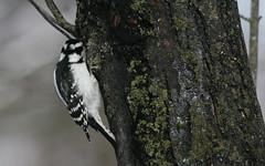 Downy Woodpecker (Peter Simpson) Tags: downywoodpecker ottawa canon