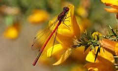 Large Red Damselfly - Pyrrhosoma nymphula -Arne RSPB Dorset -080517 (8) (ailognom2005) Tags: largereddamselfly pyrrhosomanymphula arnerspbdorset royalsocietyfortheprotectionofbirds naturereserves dorset dorsetwildlife insects britishwildlife britishinsects damselfly britishdamselflies