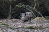 Wild Boar (Andrew G Robertson) Tags: wild boar pig forest dean royal gloucestershire