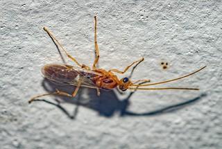 Odontomachus cf. bauri - Trap-Jaw Ant / Formiga-de-Estalo (Emery, 1892)