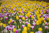 Tulips (karthik sridharan83) Tags: tulips yellow magenta canon 600d t3i 55250 nifty 250 netherlands holland amsterdam