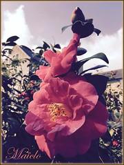 CAMELIA ( taken with the iPhone) (Maïclo) Tags: spring printemps camelia flowers fleurs fiori primavera gardens jardins nature bretagne britanny france beaute beautiful maïclo iphone