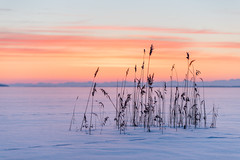 Frozen reed (jarnasen) Tags: nikon d810 tamron70200f28g2 telezoom tripod dawn morning sunrise color ice snow lake frozen frost cold winter stjärnorp roxen horizon dof perspective contrast composition scandinavia sweden sverige geo geotag gallery copyright järnåsen jarnasen nature outdoor nordic sky mood layers tracks