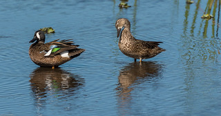 Blue-winged teal (Explored)