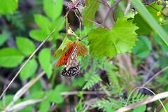 Gulf Fritillary, Florida, Arthur R. Marshall Loxahatchee National Wildlife Refuge (EC Leatherberry) Tags: butterfly florida palmbeachcounty arthurrmarshallloxahatcheenationalwildliferefuge usfishandwildlifeservice nationalwildliferefuge gulffritillary agraulisvanillae copulation
