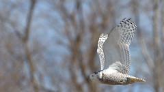 DSC_0146_edit (Hanzy2012) Tags: toronto ontario wildlife canada bird nikon d500 afsnikkor500mmf4difedii owl snowyowl buboscandiacus