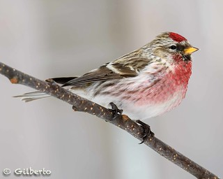 Sizerin flammé mâle - Male Common Redpoll