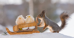 red squirrel with sledge with a egg and chick (Geert Weggen) Tags: christmas sleigh squirrel berry coldtemperature gift holidayevent horizontal ice lookingatview mammal nature ontopof outdoors photography rodent scenicsnature sled snow softness standing sunlight sweden winter food easter egg chick geert weggen hardeko bispgården jämtland ragunda