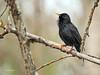 Estornino pinto (Sturnus vulgaris) (10) (eb3alfmiguel) Tags: aves pájaros insectívoros passeriformes sturnidae estornino pinto sturnus vulgaris