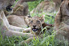 Lion cub (Sheldrickfalls) Tags: lion lioncub lionportrait lions sabisands nottensbushcamp krugernationalpark kruger krugerpark mpumalanga southafrica coth5