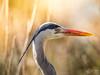 Héron cendré (Olympus Passion eric leroy) Tags: olympus omd em1 mkii zuiko 300f4 300 f4 300mm tc 14 mc14 camargue 600mm 600f4 oiseaux birds provence paca