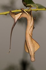 Endromid Moth Caterpillar (Oberthueria sp., Endromidae) (John Horstman (itchydogimages, SINOBUG)) Tags: insect macro china yunnan itchydogimages sinobug entomology moth lepidoptera caterpillar larva endromidae sky canon fb tweet topf25 topf50 tumblr top