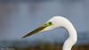 Grande aigrette - Ardea alba - Great Egret (Bruno Chambrelent) Tags: grande aigrette ardea alba great egret