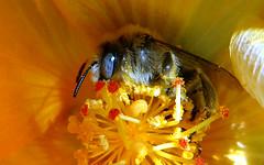 Chimney Bee (Diadasia nitidifrons) (J.Thomas.Barnes) Tags: