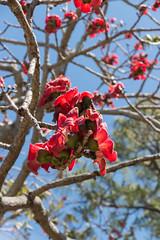 IMG_9923 (jaglazier) Tags: 2018 31518 deciduoustrees florida march marieselbybotanicalgardens museums red sarasota trees usa copyright2018jamesaglazier floweringtrees gardens