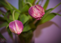 Mother's day tulips (picsbyCaroline) Tags: macro flower tulips plant garden pink pretty leaves nature close petal petals amsterdam colour